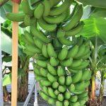 岡山産(日本産)とフィリピン産のバナナの違いは無農薬?値段や評判は?新パナマ病とは?【未来世紀ジパング】
